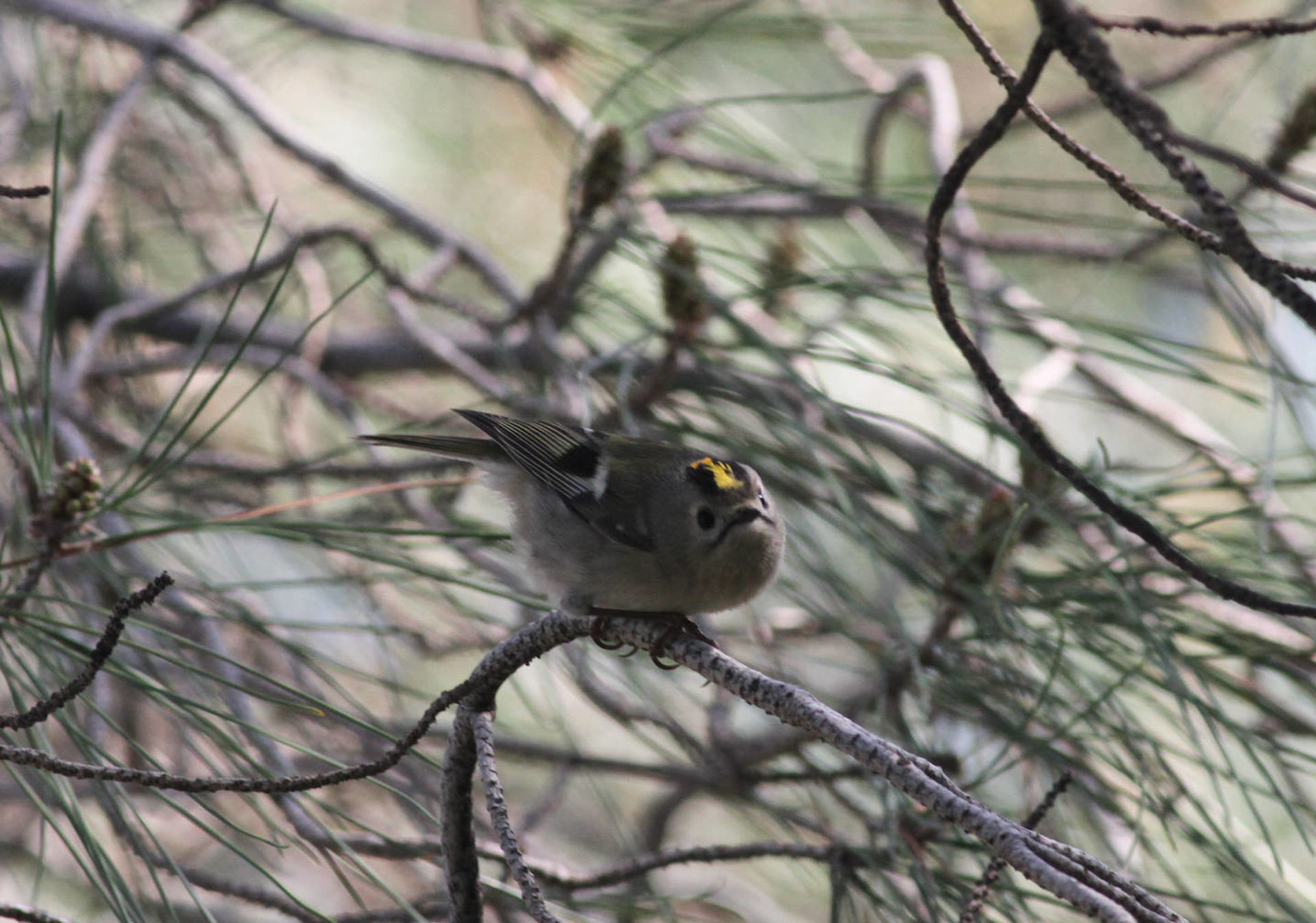 Male of Goldcrest regulus