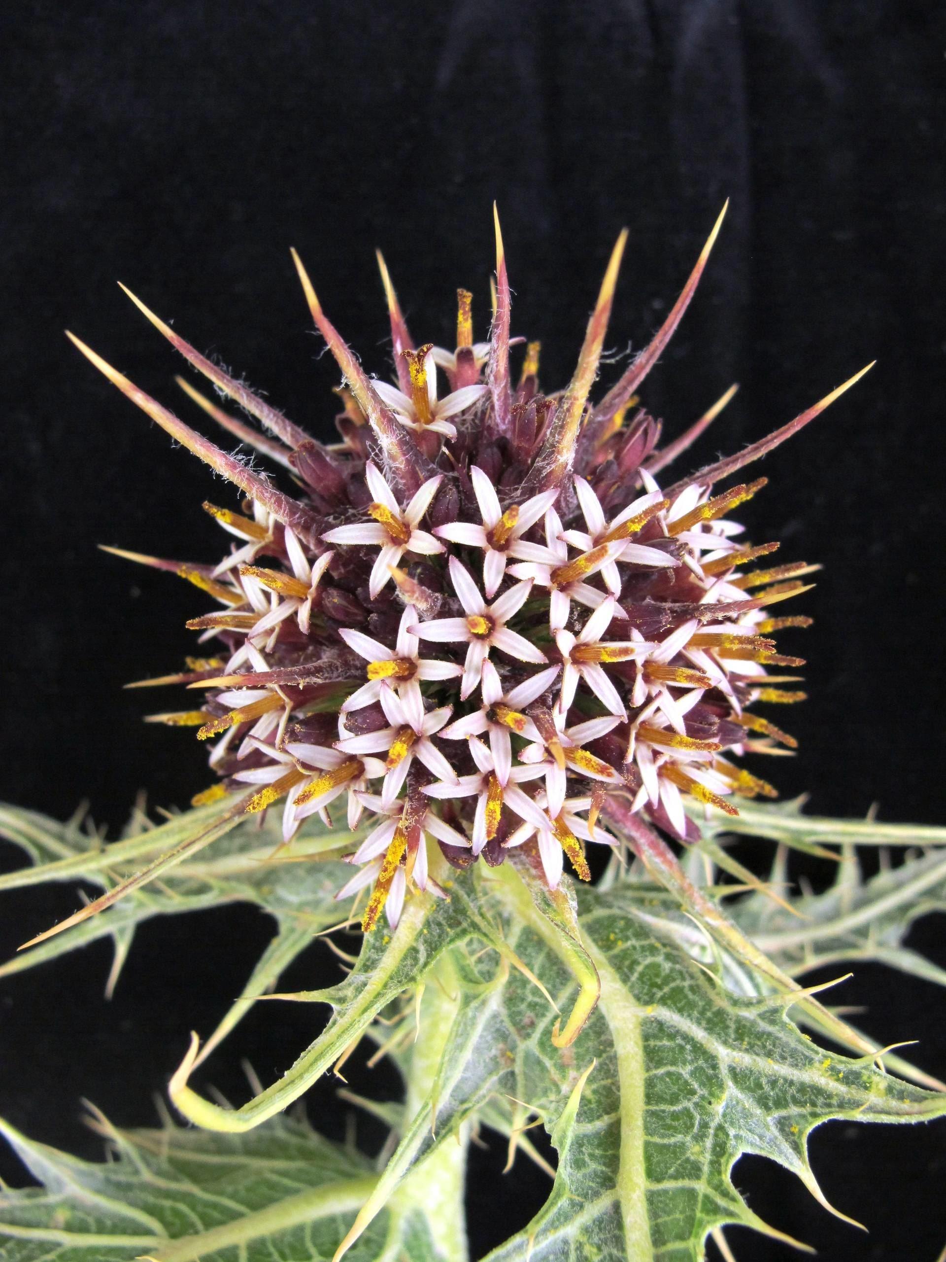 Gundelia tournefortii L.