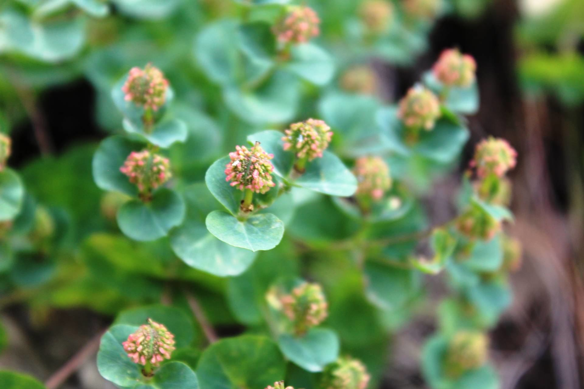 Euphorbia macrocarpa Boiss. & Buhse