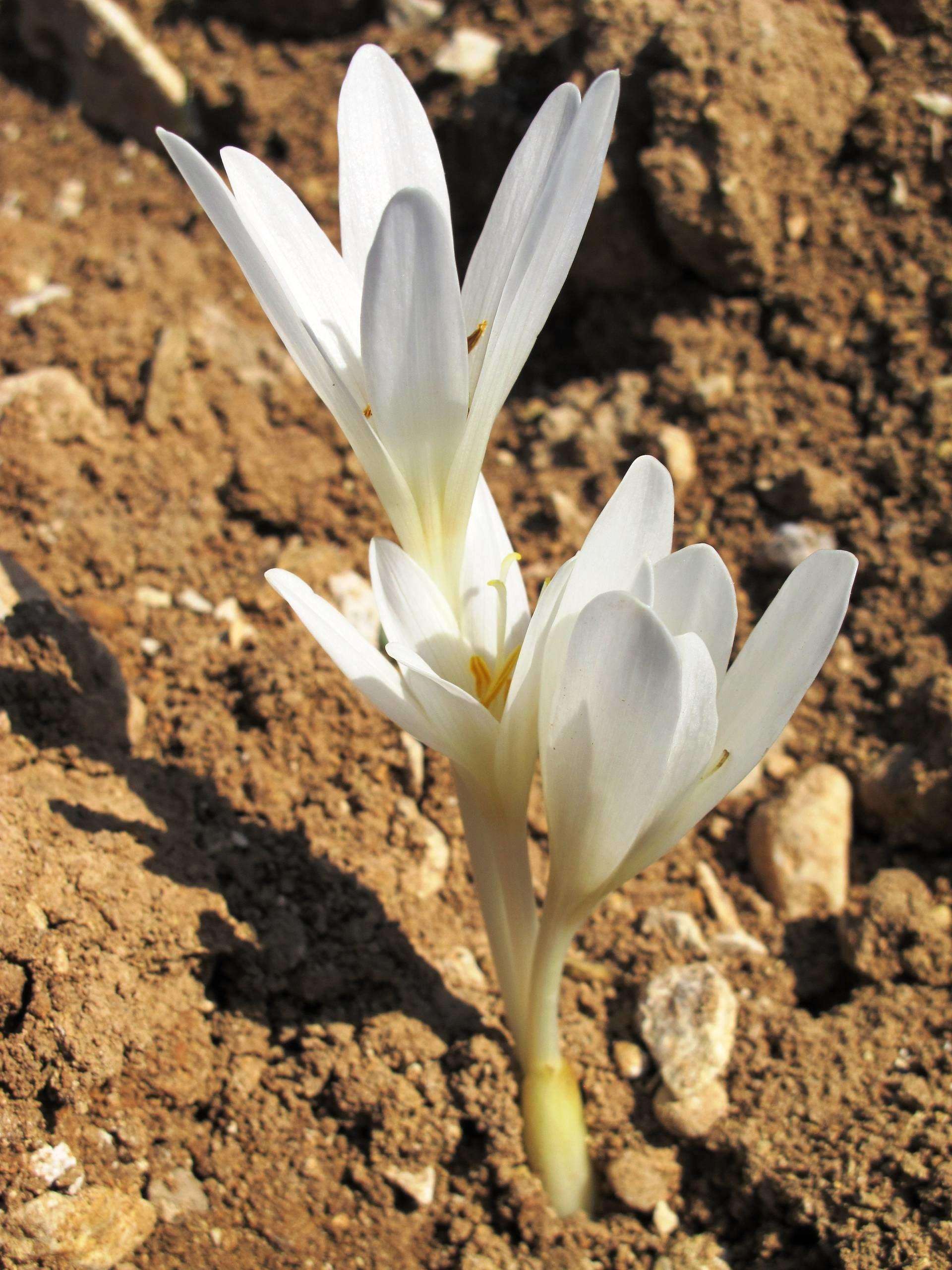 Colchicum kotschyi Boiss