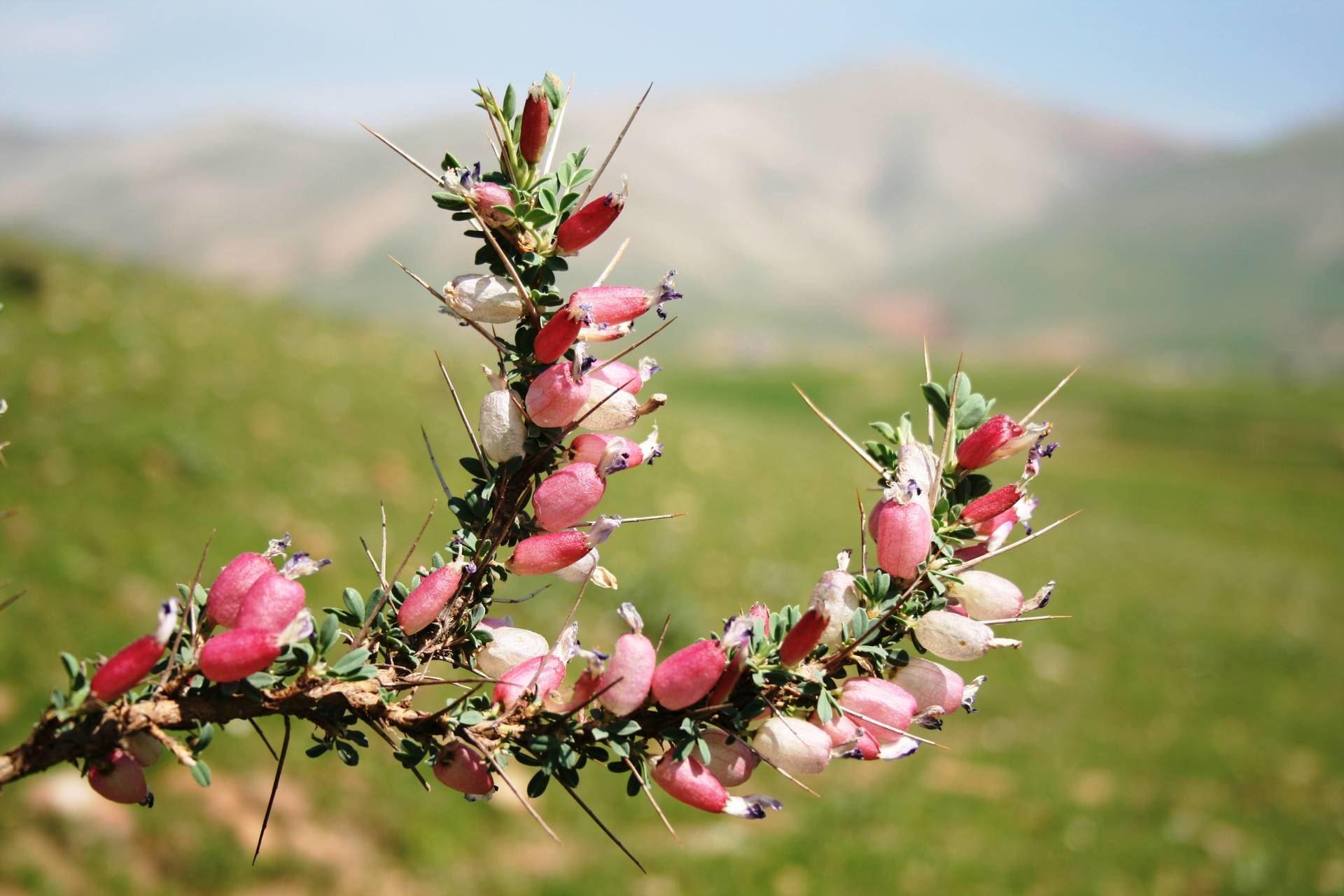 Astragalus spinous (Forssk.) Muschl.