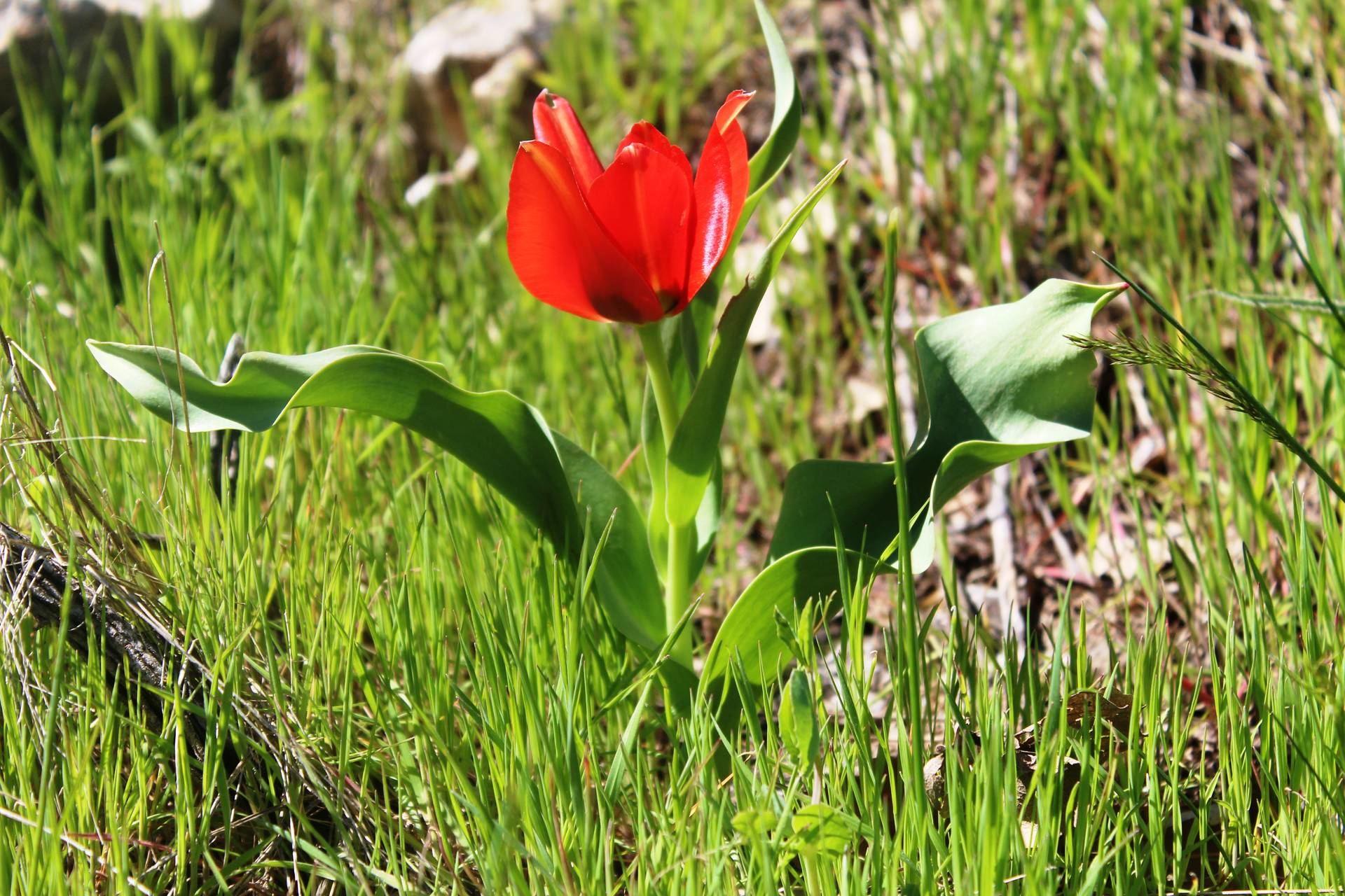 Tulipa  systola Stapf