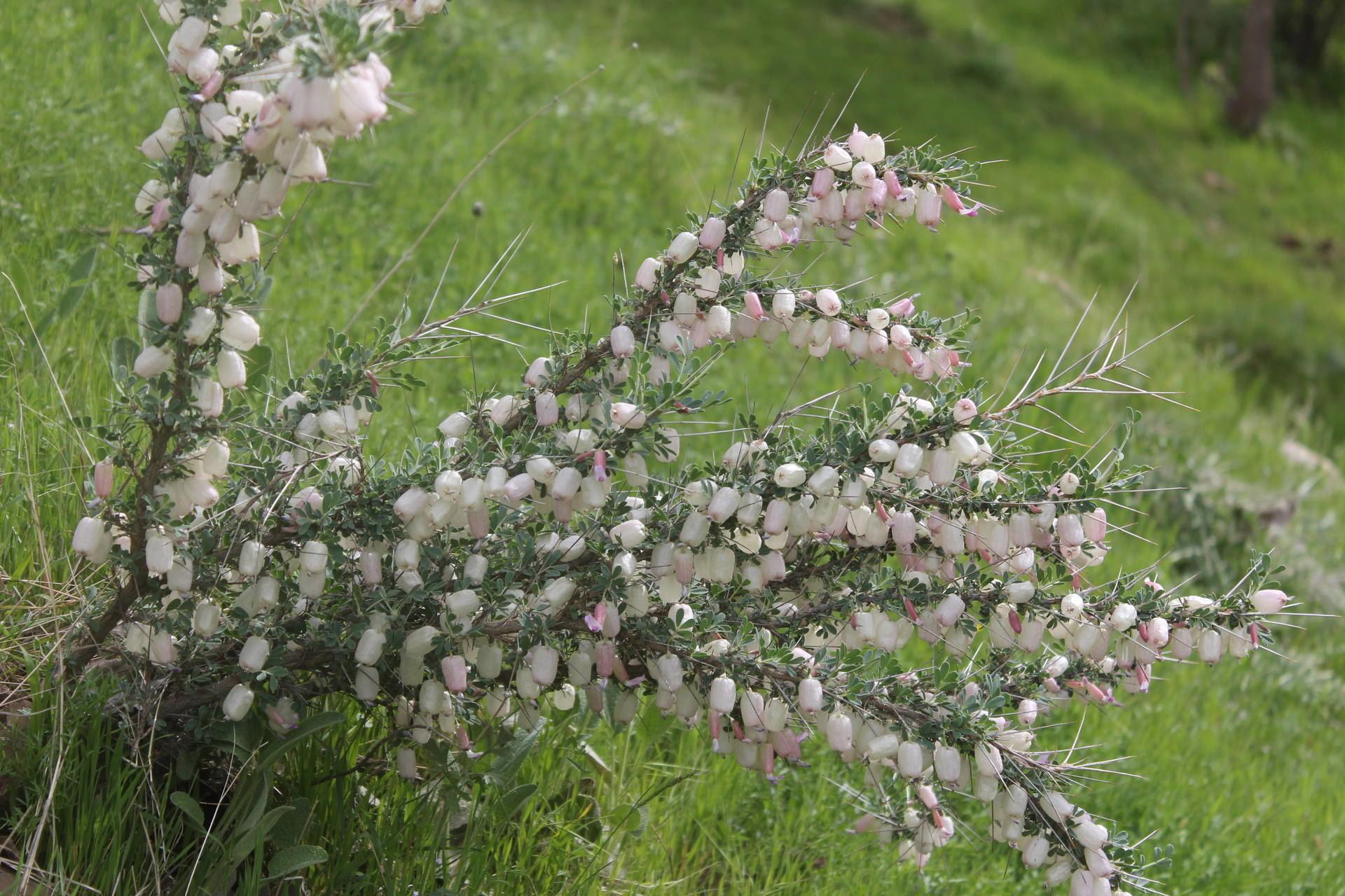 Astragalus spinosus C.Chr.