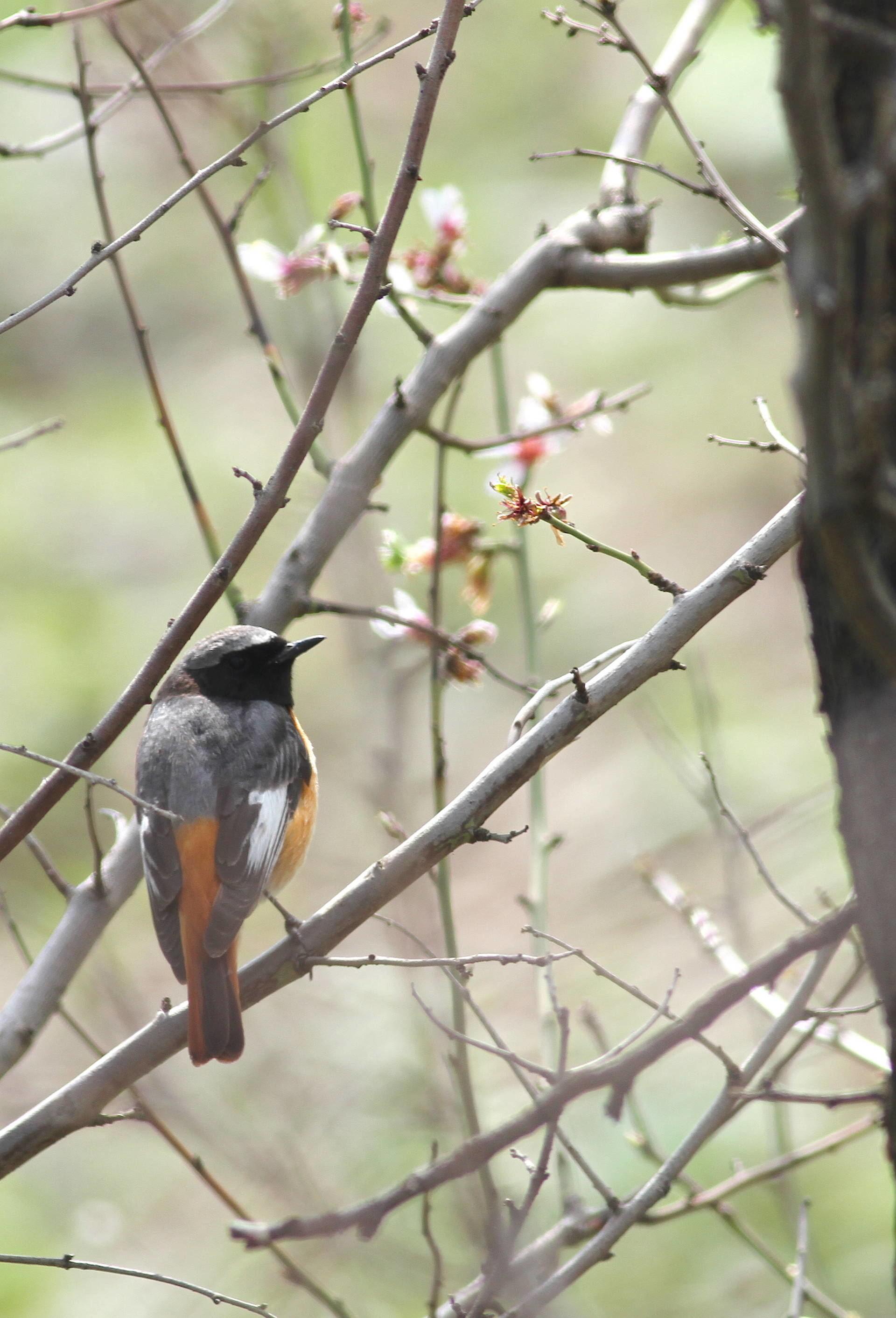 Common Redstart Phoenicurus phoenicurus samamiscus