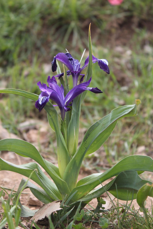 Iris aucheri (Bak.) Sealy.