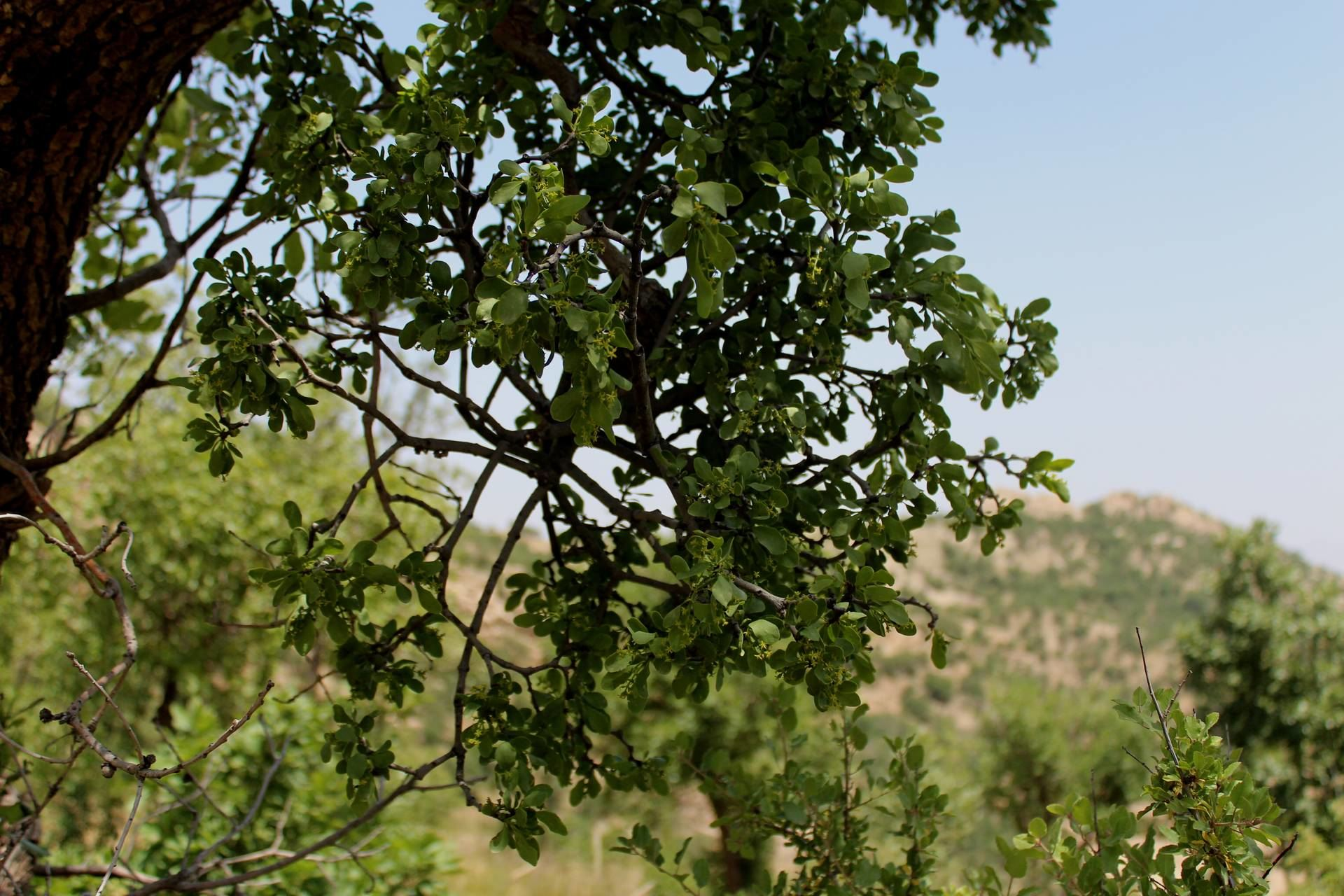 hemiparasite plant on Oak trees(Quercus aegilops)