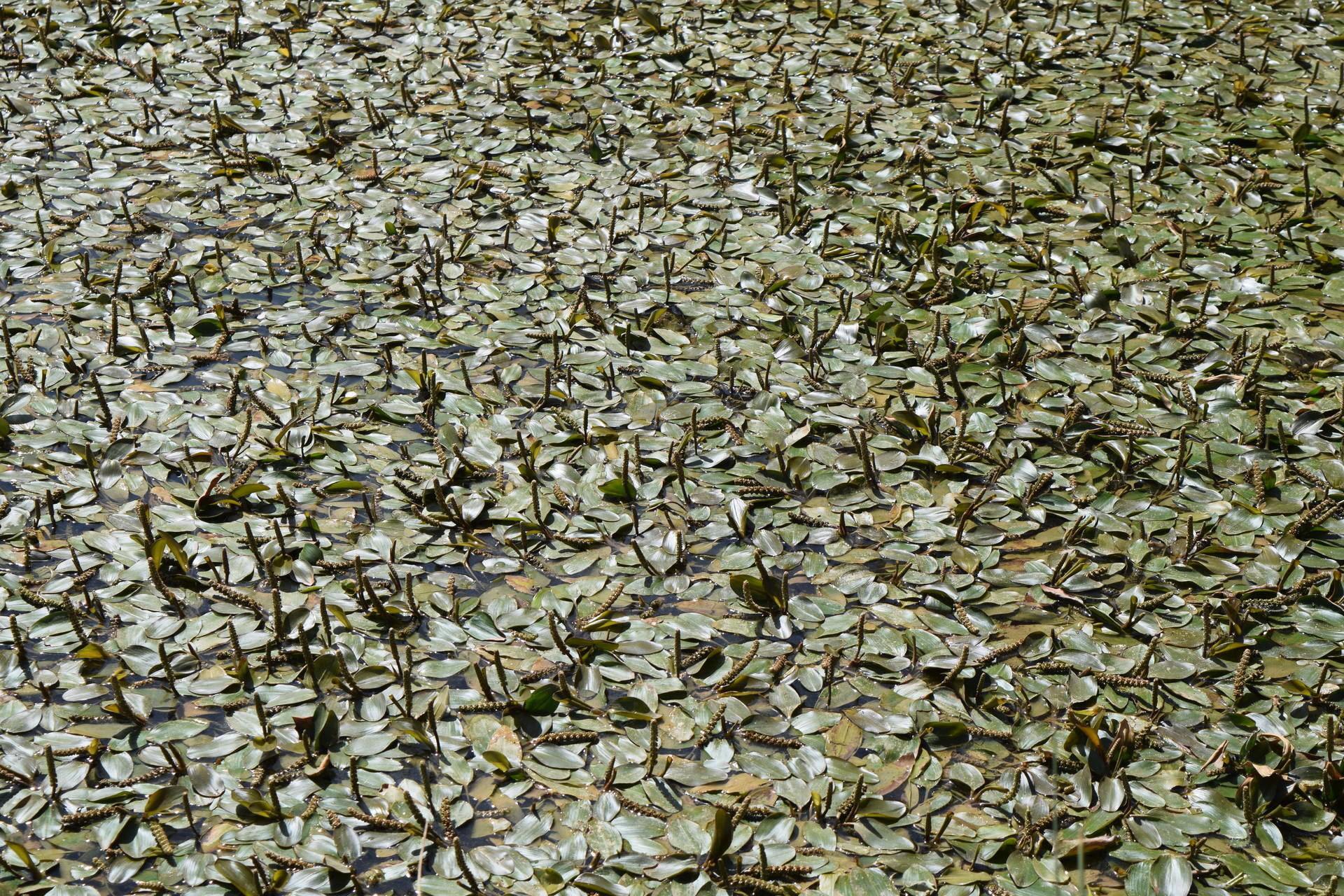 Potamogeton nodosus Poir
