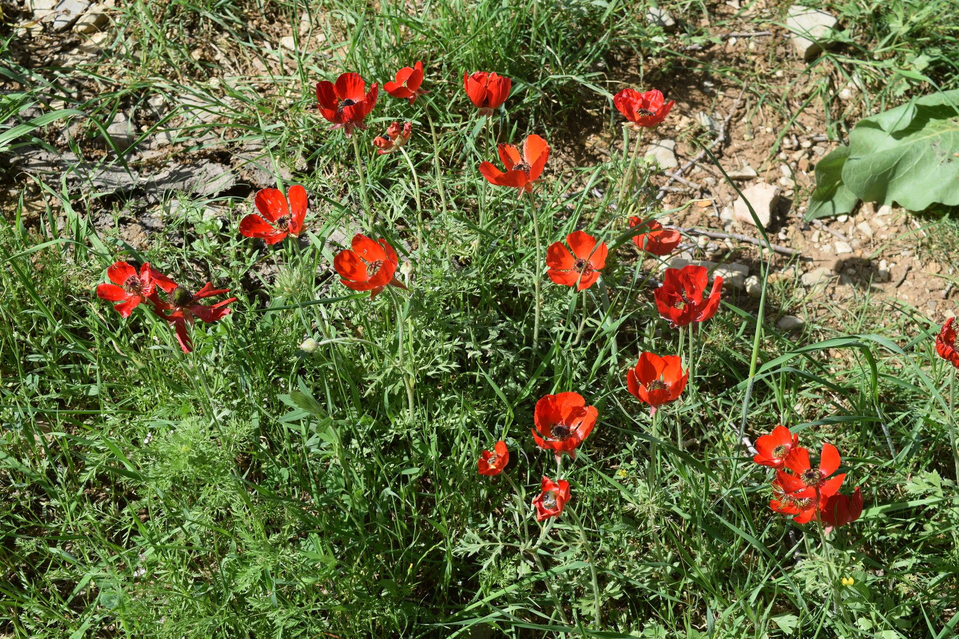 Ranunculus asiaticus L.