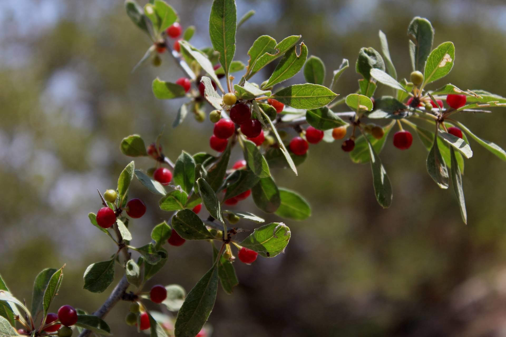 Rhamnus kurdicus