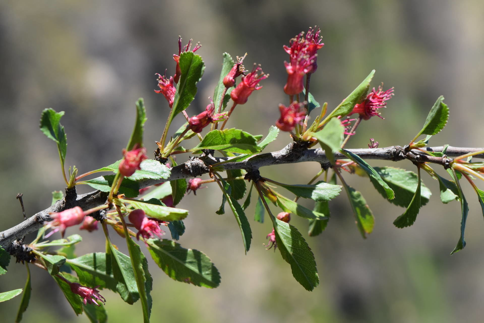 Prunus microcarpa C.A.Mey.