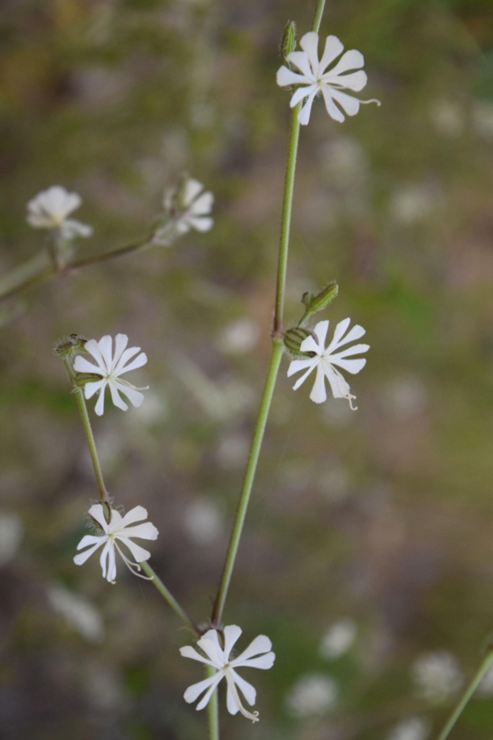 Silene dichotoma Ehrh. subsp. dichotoma