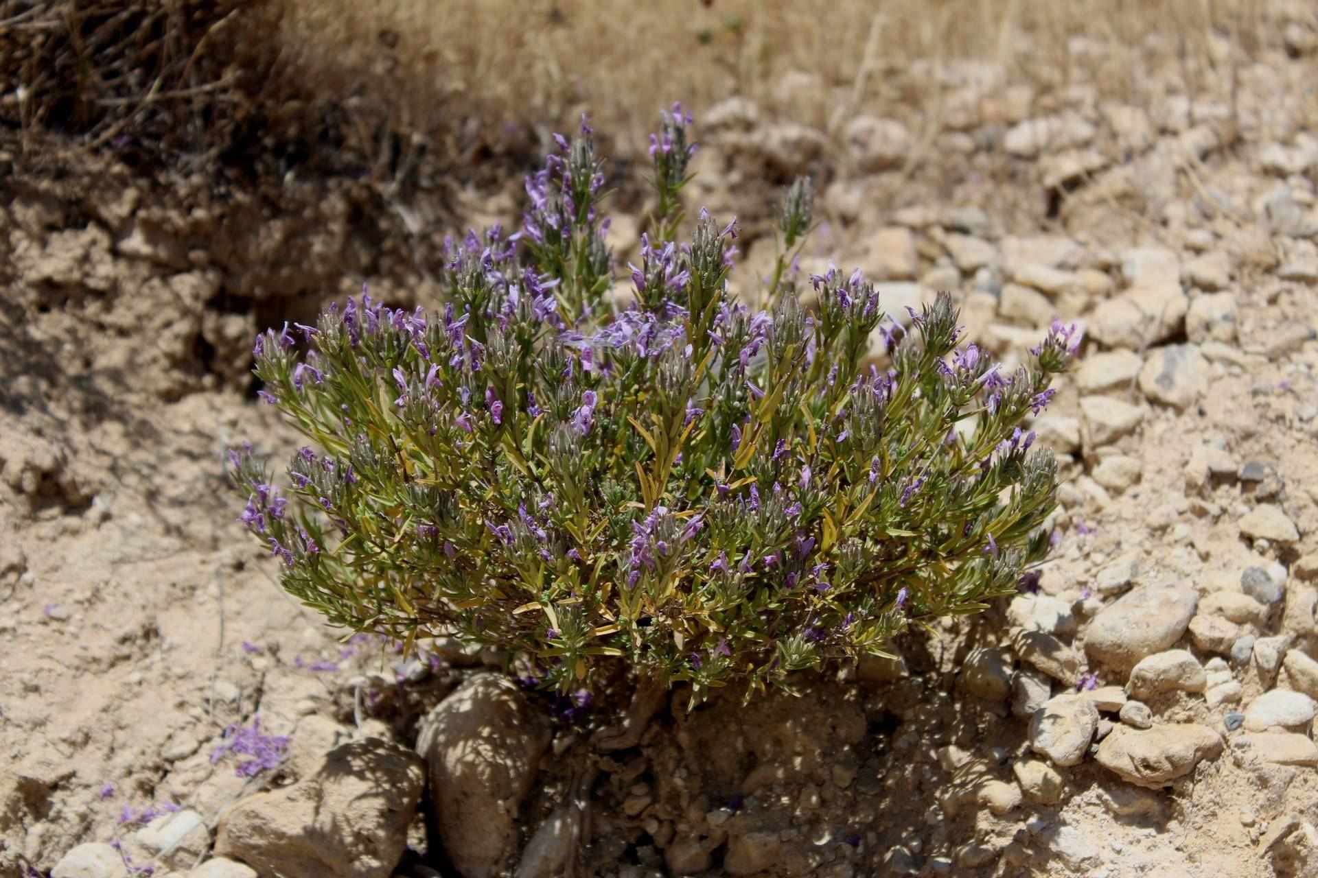Thymra spicata L.