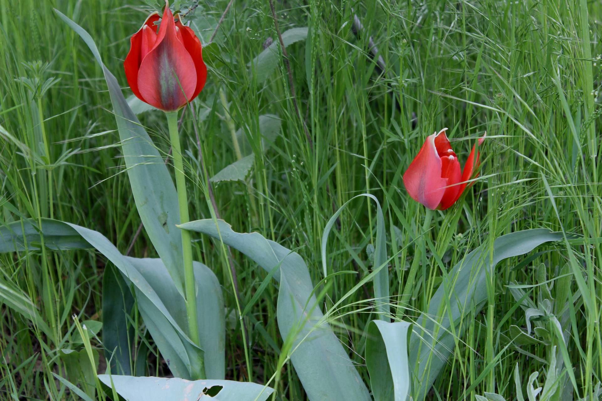 Tulipa systola Stapf.