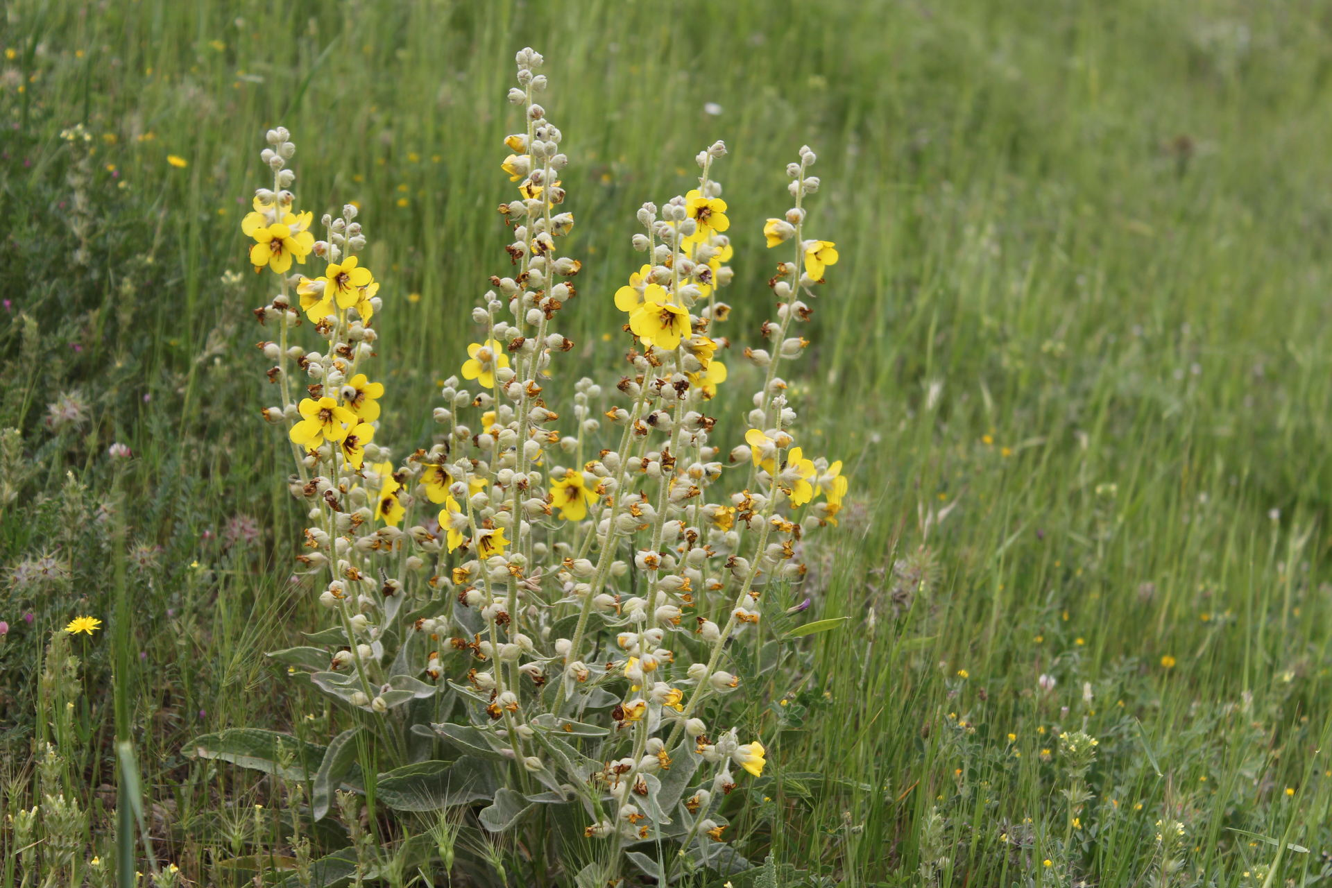 Verbascum alceoides Boiss. & Hausskn.